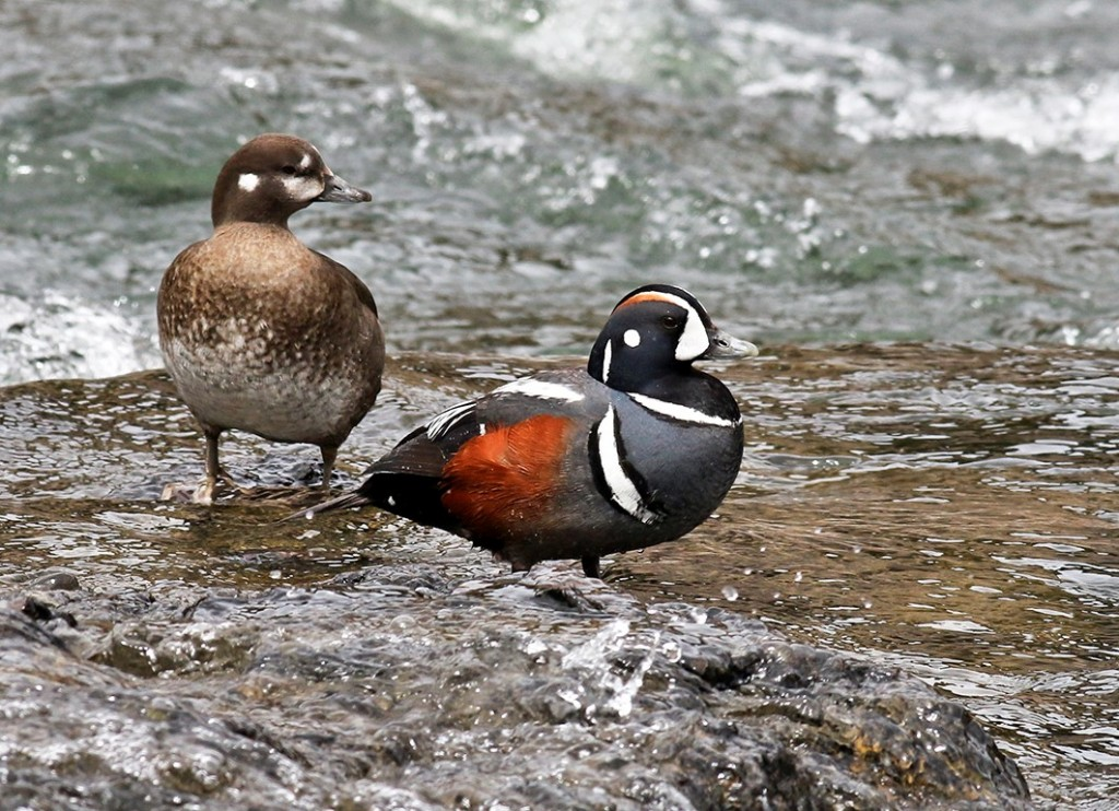 Peter Arnold Harlequin Duck May 2015 2